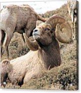 Big Bighorn Ram Acrylic Print