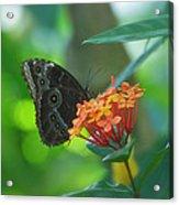 Big Boy Butterfly Acrylic Print