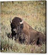 Big Buff - Bison - Buffalo - Yellowstone National Park - Wyoming Acrylic Print