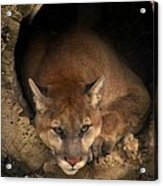 Big Cats In Ohio. No.17 Acrylic Print