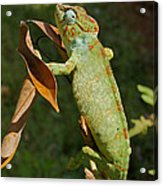 big chameleon of Madagascar 20 Acrylic Print