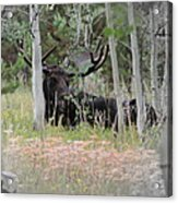 Big Daddy The Moose 1 Acrylic Print