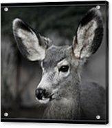 Big Ears Acrylic Print