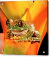 Big Eye Treefrog, Leptopelis Acrylic Print
