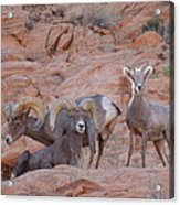 Big Horn Group Pose Acrylic Print