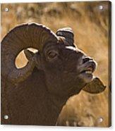 Big Horn Ram   #4856 Acrylic Print