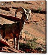 Big Horn Ram At Zion Acrylic Print