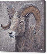 Big Horn Ram Acrylic Print