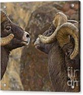 Big Horn Rams   #4989 - Signed Acrylic Print