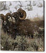 Big Horn Rams In Snow   #2484 Acrylic Print