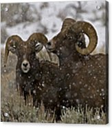 Big Horn Rams In The Snow   #2493 Acrylic Print