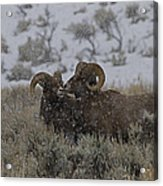 Big Horn Rams In The Snow   #2523 Acrylic Print
