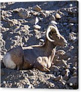 Big Horn Sheep Close Up Acrylic Print
