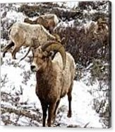 Big Horn Sheep In The Snow Acrylic Print