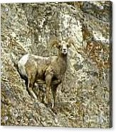 Big Horn Sheep On Mountain Acrylic Print