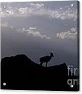 Big Horned Sheep Badlands National Park Acrylic Print