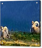 Big Horns Acrylic Print
