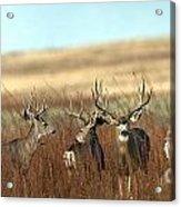 Big Mule Deer Bucks Acrylic Print