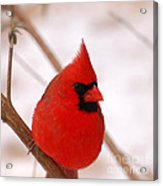 Big Red  Cardinal Bird In Snow Acrylic Print