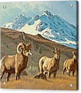 Bighorn Below Electric Peak Acrylic Print