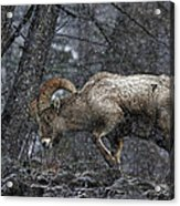 Bighorn Caught In A Blizzard Acrylic Print