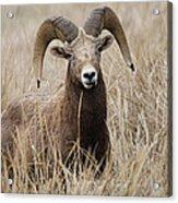 Bighorn Grassland Acrylic Print