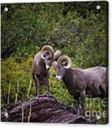 Bighorn Ram 4 Acrylic Print