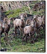 Bighorn Reunion Acrylic Print