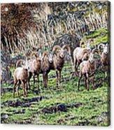 Bighorn Row Acrylic Print