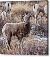 Bighorn Sheep 4 Acrylic Print
