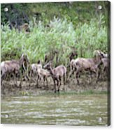 Bighorn Sheep Ovis Canadensis On Bank Acrylic Print