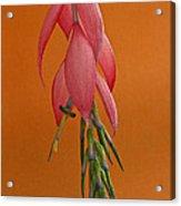 Bilbergia  Windii Blossom Acrylic Print