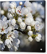 Billows Of Fluffy White Bradford Pear Blossoms Acrylic Print