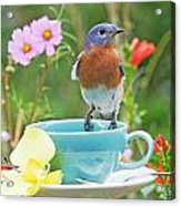 Billy Bluebird Having Tea Acrylic Print