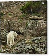 Billy Goat 3 Acrylic Print