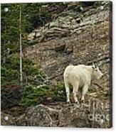 Billy Goat 4 Acrylic Print