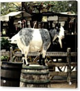 Billy Goat Big Thunder Ranch Frontierland Disneyland Acrylic Print