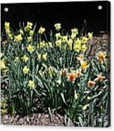 Biltmore Daffodils Acrylic Print