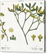 Birch And Mistletoe Acrylic Print