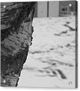 Birch Bark And Snow In Black And White Acrylic Print