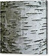 Birch Bark Acrylic Print