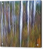 Birch Fall Abstract Acrylic Print