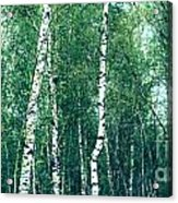 Birch Forest - Green Acrylic Print
