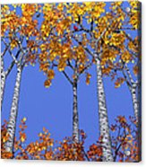 Birch Grove Acrylic Print by Cynthia Decker