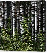 Birch Illusion Acrylic Print