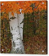 Birch In Autumn Acrylic Print