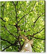 Birch Tree Acrylic Print