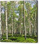 Birch Tree Grove In Summer Acrylic Print