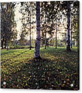 Birch Trees, Imatra, Finland Acrylic Print