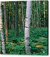 Birch Trees In A Forest Acrylic Print